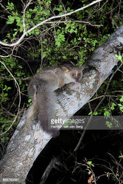 thick-tailed galago,  isimangaliso wetland park - bush baby stock photos and pictures