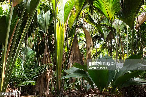 thief palms and coco de mer palms - coco de mer stock pictures, royalty-free photos & images