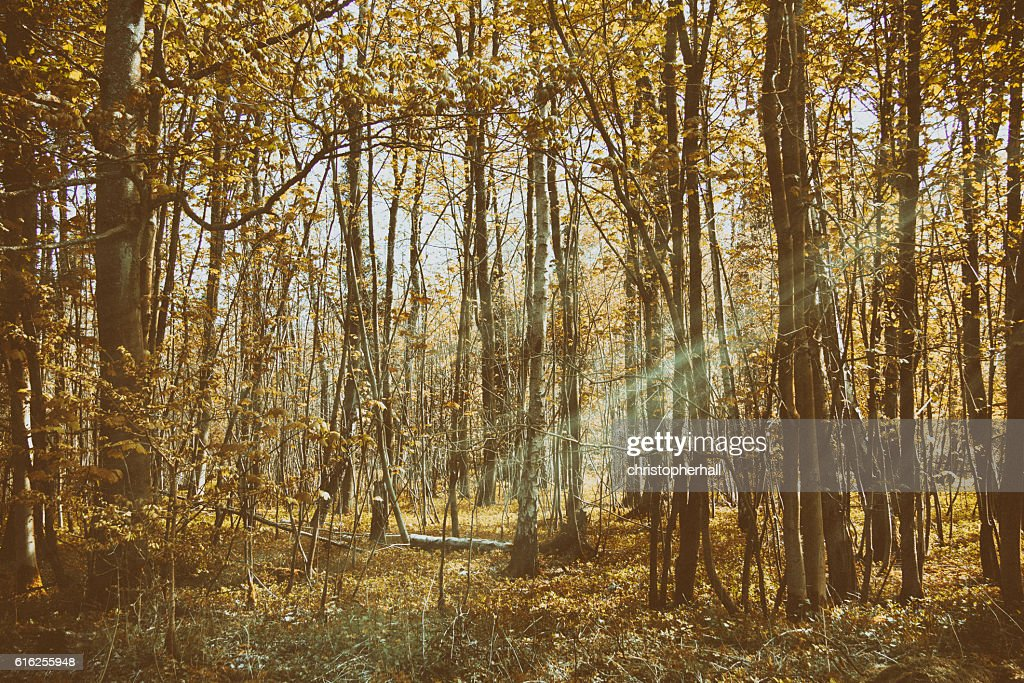Thin trees in a wood in the Chilterns : Stock Photo