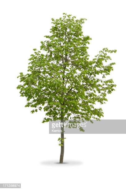Thin truck tree with green leaves isolated on white