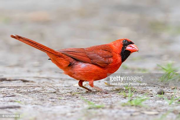 things are looking up - cardinal bird stock photos and pictures