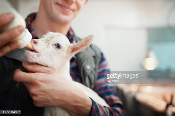 things just goat real cute in here - livestock stock pictures, royalty-free photos & images