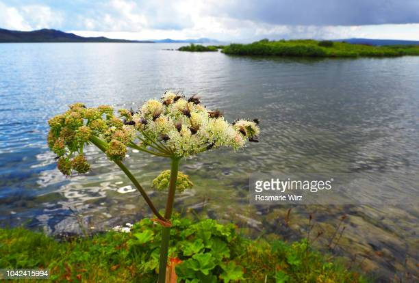 Thingvallavatn lake with close-up of Angelica archangelica