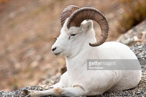 Thinhorn sheep (Ovis dalli) resting, Alaska, USA