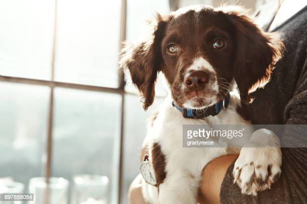 think pawsitive - springer spaniel stock pictures, royalty-free photos & images