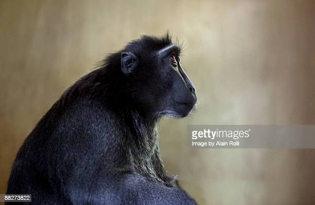Thinking Macaque Monkey