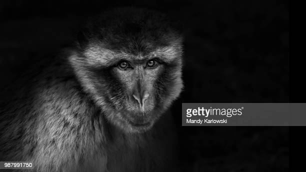 thinking of you - primate stock pictures, royalty-free photos & images