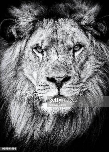 thinking? - lion stockfoto's en -beelden