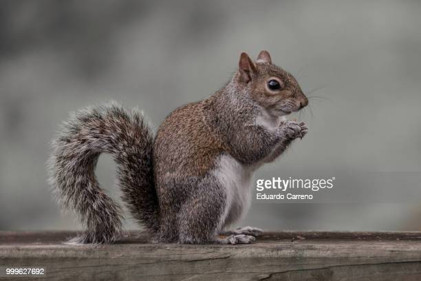 thinking - gray squirrel stock photos and pictures