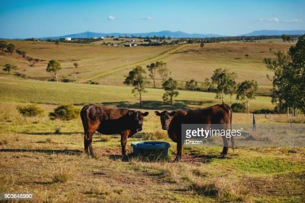 Thirsty cattle in Australian farm