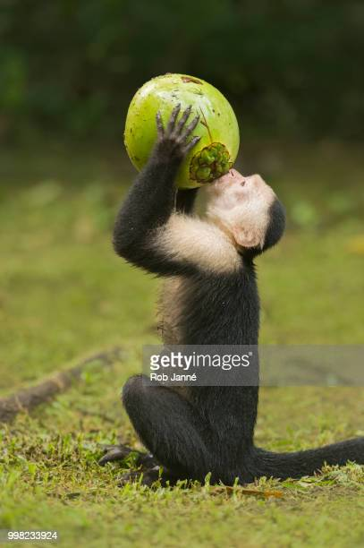 thirsty - capuchin monkey stock pictures, royalty-free photos & images