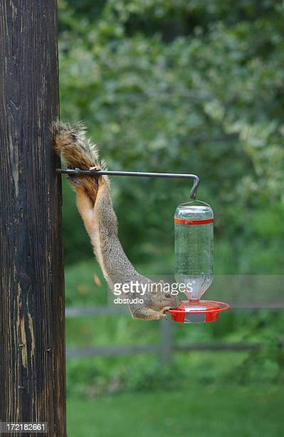 A thirsty squirrel getting water from a bird feeder