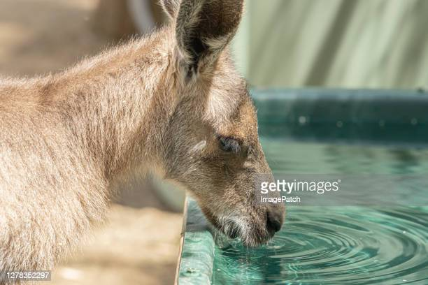 thirsty young kangaroo drinks out of a water trough - 飼い葉桶 ストックフォトと画像