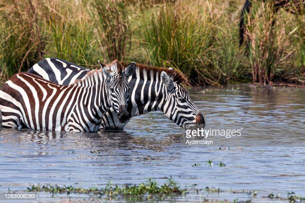 thirsty zebras drinking water from waterhole - erbivoro foto e immagini stock