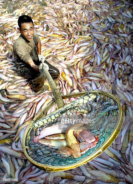 : This 28 October 2004 file photo shows a Chinese farmer with his harvest of catfish which he bred on his farm in the outskirts of Hangzhou in...