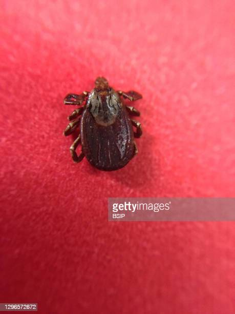 This adult dog tick, or Dermacentor variabilis, was collected in Annapolis, Maryland. Dog ticks can transmit the pathogen that causes tickborne...