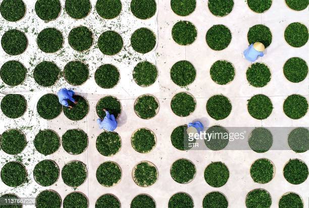 TOPSHOT This aerial photo taken on April 15 2019 shows farmers drying ginkgo leaves used to make ginkgo biloba tea at a tea field in Linyi in China's...