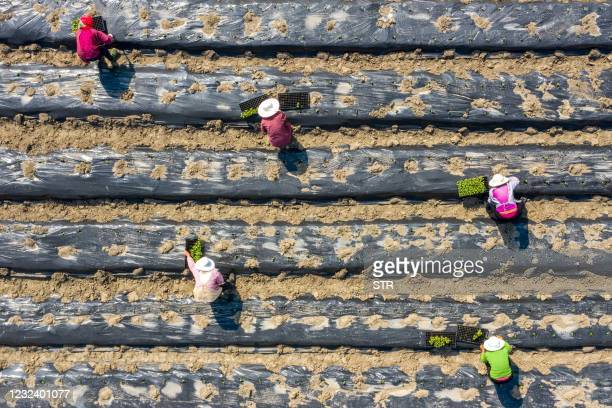 This aerial photo taken on April 19, 2021 shows farmers planting okra at a field in Nantong, in China's eastern Jiangsu province. - China OUT / China...