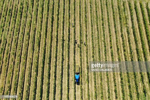 This aerial picture shows workers harvesting grapes at a vineyard in Georgia's Kakheti region on September 19, 2019.