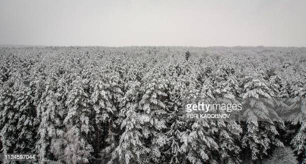 This aerial picture taken on February 13 2019 shows the snowcovered top of a Siberian pine tree at a forest during a snow fall near the village of...