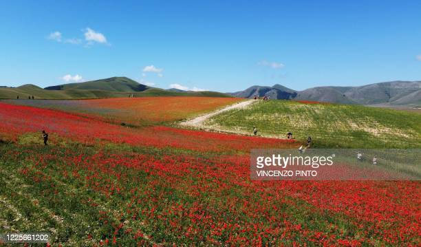This aerial picture taken on July 8, 2020 shows people walking across blooming lentil fields and poppy flowers near Castelluccio, a small village in...