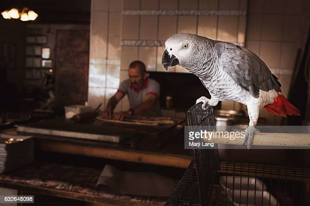 This African grey parrot is the friendly mascot of a restaurant in Goreme Cappadocia Turkey