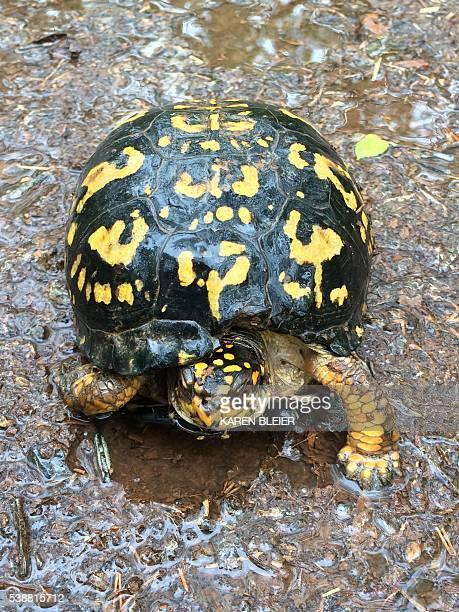 This April 23 2016 photo shows an Eastern Box Turtle in Manassas Virginia / AFP / Karen BLEIER