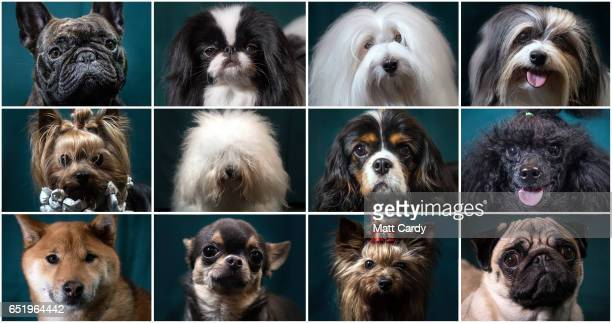 This composite image shows Freddie, a two-year-old French bulldog dog, Danny, a 3-year-old Japanese Chin dog, Prince, a 18-month-old Coton de Tulear...
