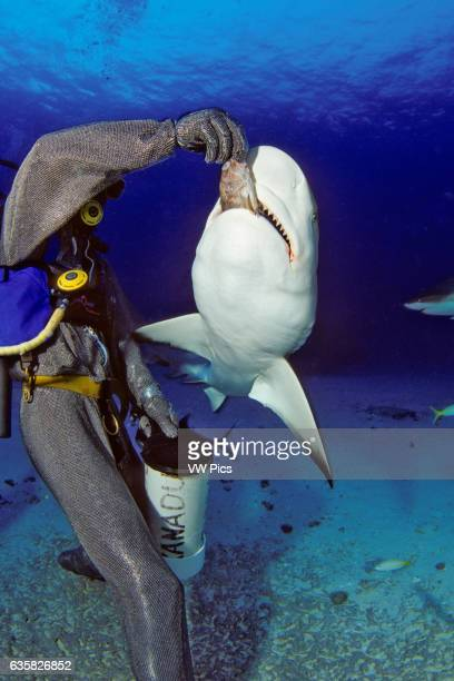 This diver in a full chain mail suit is hand feeding Caribbean Reef Sharks Carcharhinus perezi off Freeport Bahamas