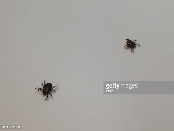 This female adult and male adult dog tick, or Dermacentor variabilis, were collected in Annapolis, Maryland. Dog ticks can transmit the pathogen that...