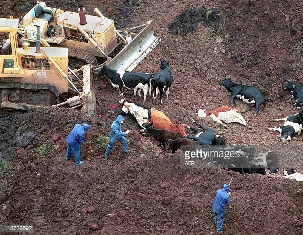 This file image taken 25 October 2000 shows cattle excuted by sanitary authorities with sanitary rifle at a farm in Artigas about 600 kms from...