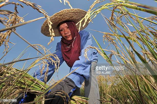 This file photo taken on March 27 2010 shows a farmer harvesting rice at a farm in Didpig town Ilocos Norte province north of Manila Drought and...
