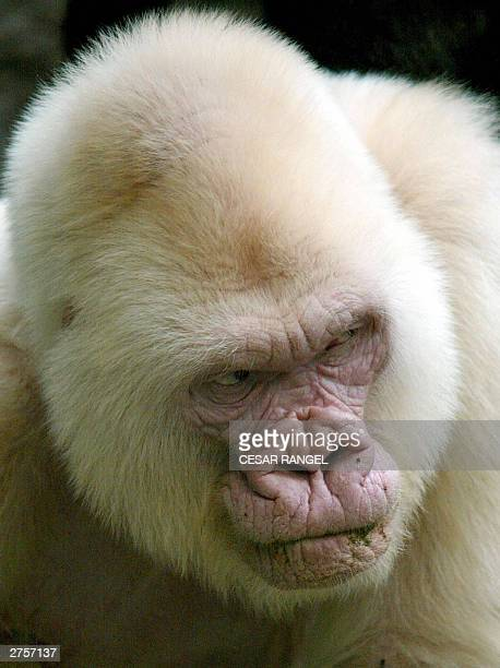 This file poto dated 14 September 2003 shows 40yearold Copo de Nieve the only albino gorilla in the Barcelona zoo Spain Snowflake died 24 November...
