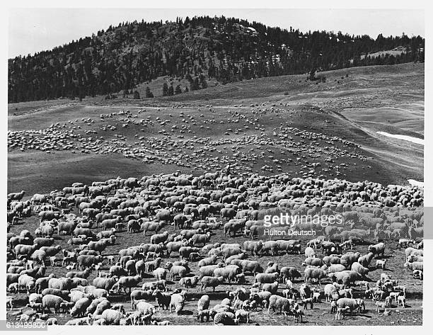 This flock of about 6000 Rambouillet sheep grazing on a plain near Kamloops British Columbia Canada is only one of many flocks comprising the 500000...