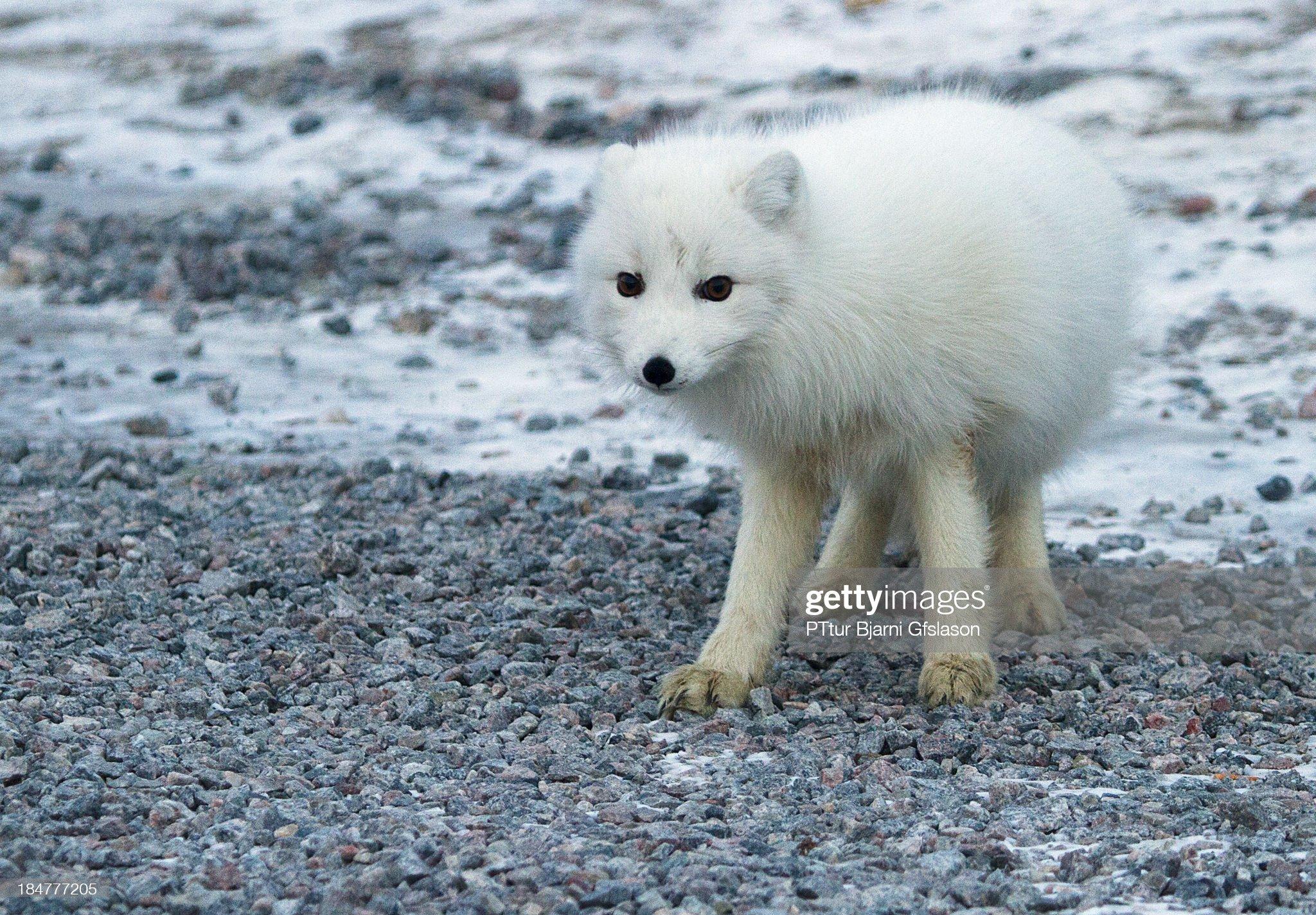 White fox in Greenland : Foto di attualità