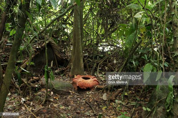 This general view shows a sevenpetal giant flower Rafflesia arnoldii in the forest in Padang Guci Bengkulu on Indonesia's Sumatra island on January...