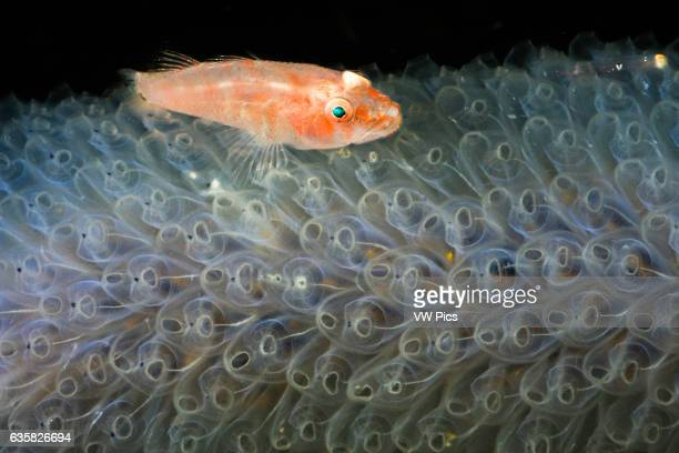 This goby Pleurosicya sp was photographed at night on a colony of transparent tunicates Komodo Indonesia
