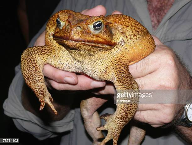 This handout photo from Frogwatch shows a giant Cane Toad being held by FrogWatch coordinator Graeme Sawyer after it's capture March 26 in Darwin...