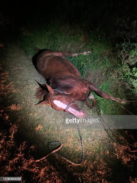 This handout photograph taken on July 9, 2020 and released on September 7, 2020 by Veronique de la Brelie shows her horse Cimona laying injured in a...