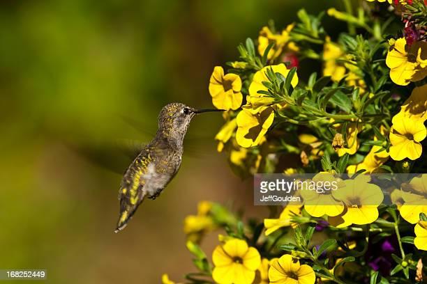 Colibrì sorseggiando un nettare dal fiore