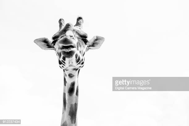 This image has been converted to black and white Lowangle view of a northern giraffe photographed at Marwell Zoo taken on August 4 2016