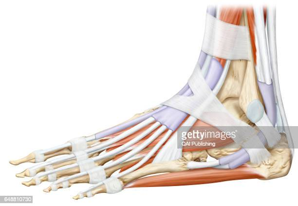 Muscle Of The Foot Lateral View Stock Photos And Pictures Getty Images
