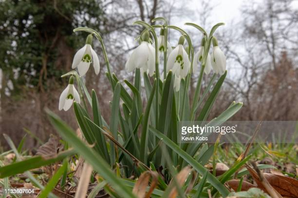 this image shows growing snowdrops in frankfurt (oder), brandenburg, germany. - variable schärfentiefe stock pictures, royalty-free photos & images