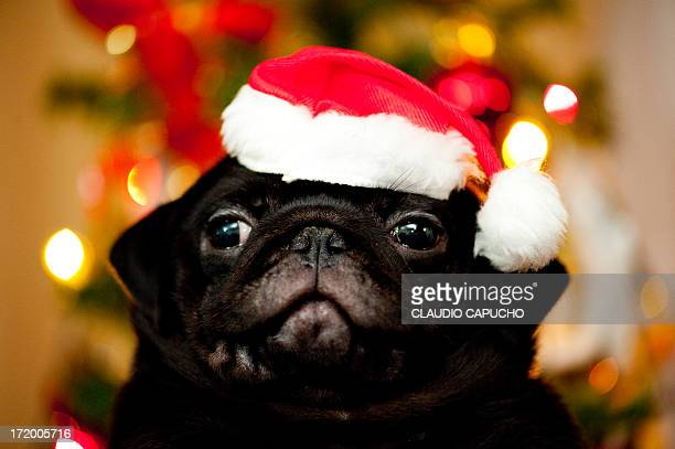 CONTENT] This is a cute puppy dog from my cousin Mariana that recieved as a Christmas gift from her husband It's a Pug Camera Nikon D3 lens 105 micro...