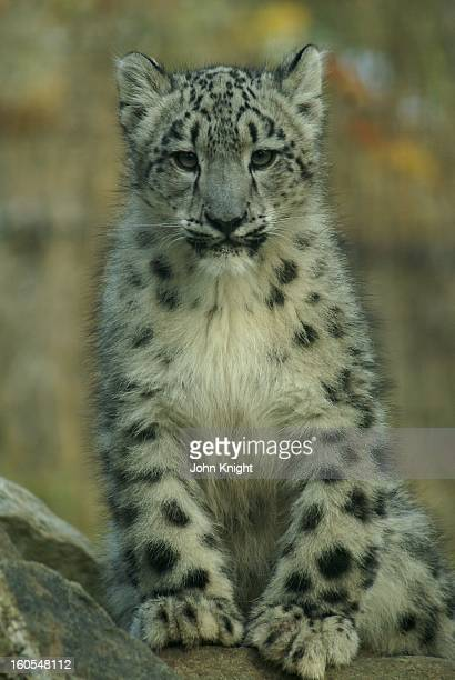 This is a portrait of a snow leopard cub about 6 months old taken at Toronto Zoo.