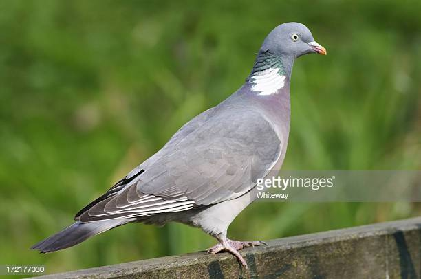 proper wild wood pigeon columba palumbus - perching stock photos and pictures