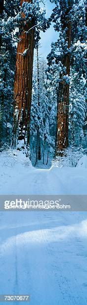 this is a winter road that leads into sequoia national park. it shows the redwoods of the giant forest in the snow. - sequoia national forest stock photos and pictures