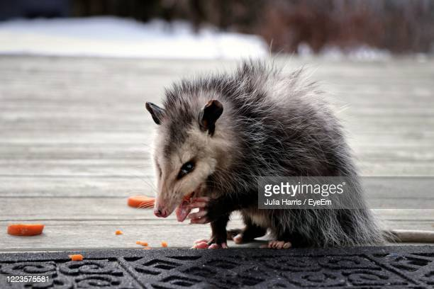 this is mine, hands off - possum stock pictures, royalty-free photos & images
