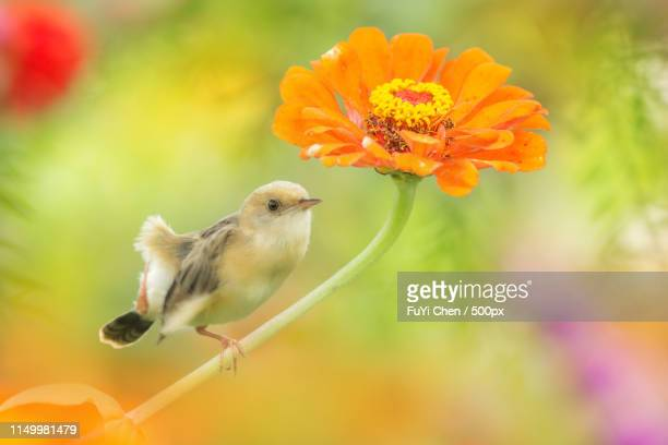 this is my flower - songbird stock pictures, royalty-free photos & images