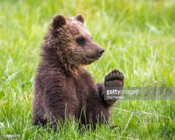 this is my paw - bear tracks stock pictures, royalty-free photos & images